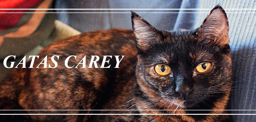 El Mito de las Gatas Carey - ByMascota