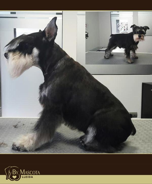 Peluqueria canina Lleida